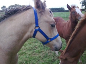 Westernway Field Safe Head collars for Foals or young horses